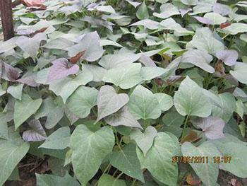 紫薯河南能种植么河南紫薯苗什么时候供应