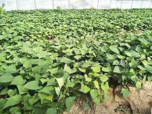 如何预防紫薯田中的杂草紫薯苗能用百草枯吗