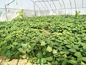 紫甘薯苗控旺注意大雨之后紫甘薯苗需要控旺吗